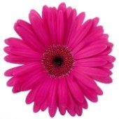 pink-flower-01