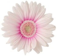 white-gerber-daisy